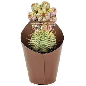 Euphorbia meloformis 'Variegata'
