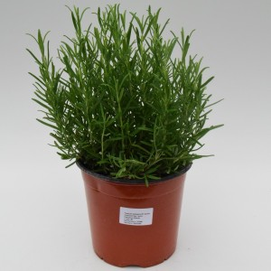 Rosmarinus officinalis (Green Collect Sales)