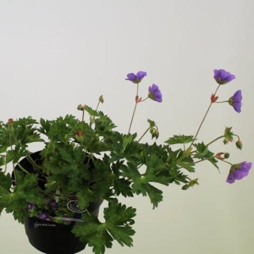 Geranium ROZANNE (Noordpoel, Kwekerij de)