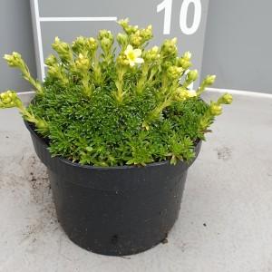 Saxifraga x apiculata 'Gregor Mendel' (Leeuw-den Engelsen)
