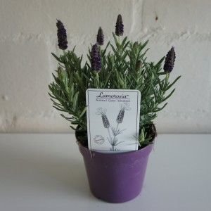 Lavandula stoechas LAMOROSIA PURPLE FLAG
