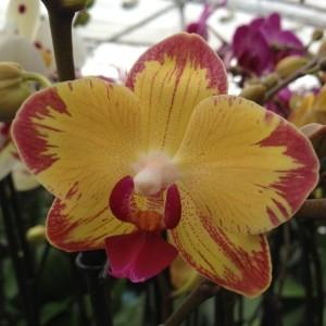 Phalaenopsis FLORICLONE PAPAGAYO