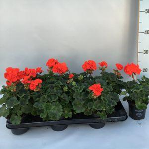 Pelargonium TOSCANA RONJA (Sonneveld Plants)