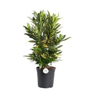 Codiaeum variegatum 'Sunny Star'