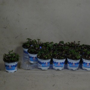 Anemone blanda (Kwekerij den Deyl)