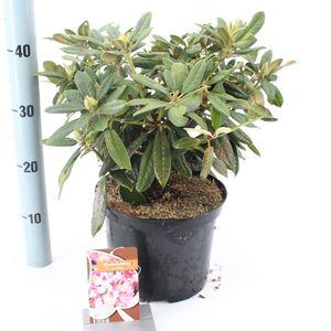 Rhododendron 'Helene'