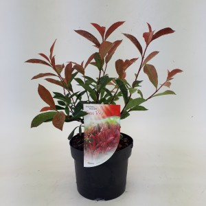 Photinia x fraseri 'Faros Red'
