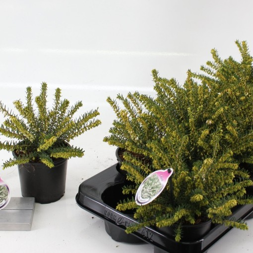 Erica x darleyensis 'White Perfection' (About Plants Zundert BV)