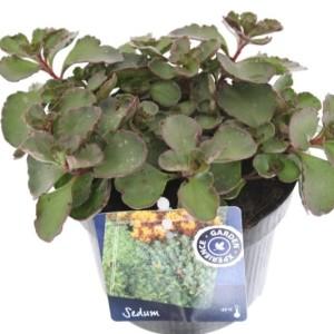 Sedum spurium 'Purple Winter' (Kwekerij de Noordpoel)