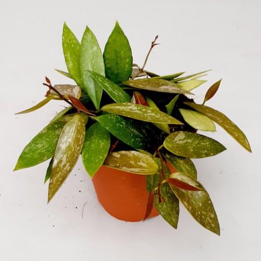 Hoya gracilis (Handelskwekerij van der Velden)