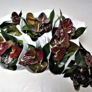 Anthurium PARIS BLACK (Flamingo Plant)