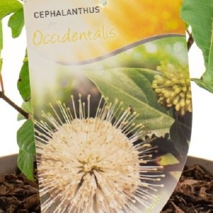 Cephalanthus occidentalis (Dool Botanic)