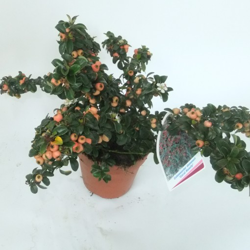 Cotoneaster x suecicus 'Coral Beauty' (Experts in Green)