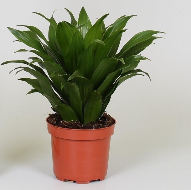 Dracaena fragrans 39 compacta 39 p12cm h25cm floraccess for 6 plantas ornamentales