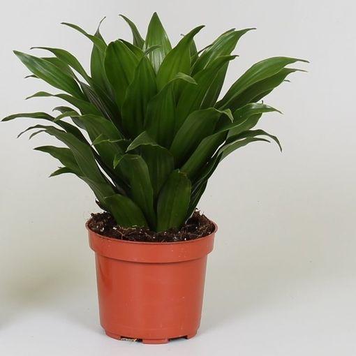 Dracaena fragrans 'Compacta' (Groot BV, Kwekerij J. de )