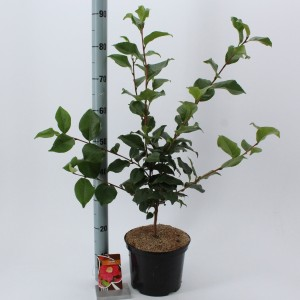 Camellia japonica 'Dr King' (About Plants Zundert BV)
