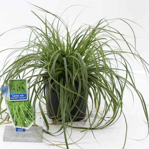 Carex oshimensis EVERCOLOR EVERLIME (About Plants Zundert BV)