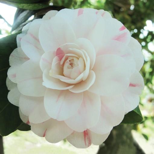 Camellia japonica 'Virginia Franco' (Flora Toscana)