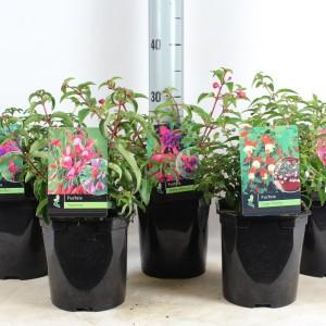 Fuchsia MIX