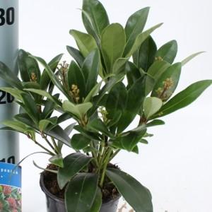 Skimmia japonica 'Rubella' (About Plants Zundert BV)
