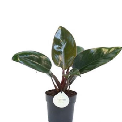 Philodendron 'Rojo Congo' (Gasa DK)
