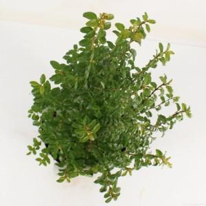 Ligustrum undulatum (Snepvangers Tuinplanten BV)