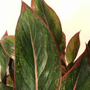 Aglaonema 'King of Siam' (Vireõ Plant Sales)