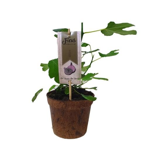 Ficus carica 'Brown Turkey' (BOGREEN Outdoor Plants)