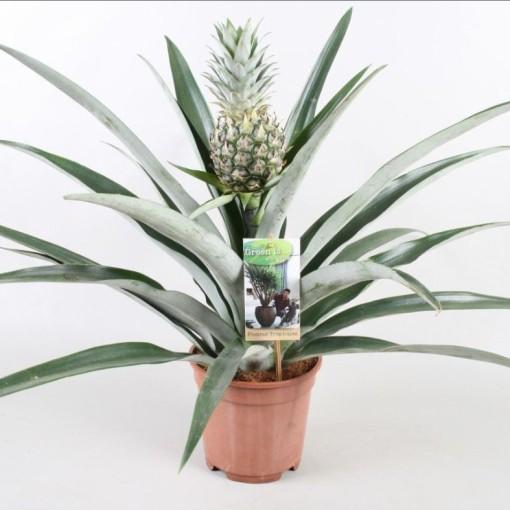 Ananas 'Champaca' (Vireõ Plant Sales)