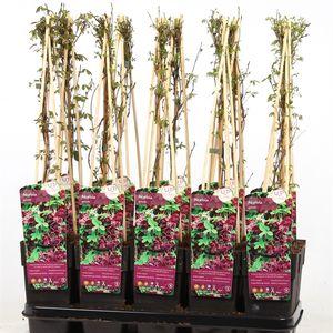 Akebia quinata (Hoogeveen Plants)