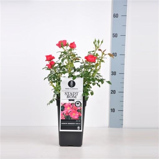 Rosa MEISTERSTÜCKE - STADT ROM (Lakei Boomkwekerijen)