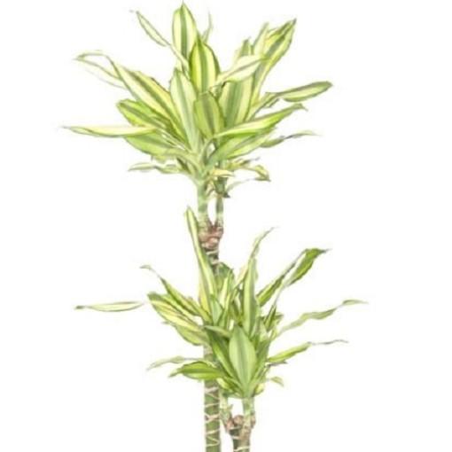 Dracaena fragrans 'Diamond Dream' (Ammerlaan, The Green Innovater)