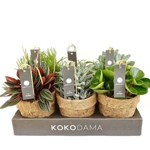 Houseplants MIX (Kokodama)