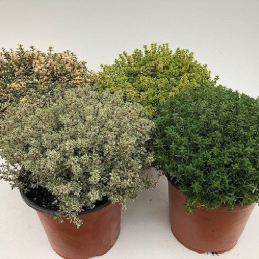 Thymus MIX (Green Collect Sales)