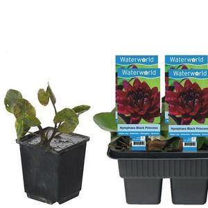 Nymphaea 'Black Princess' (van der Velde Waterplanten BV)