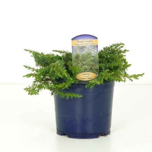 Juniperus communis 'Green Carpet' (Vredebest, Kwekerij )