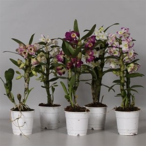Dendrobium nobile MIX (De Hoog Orchids)