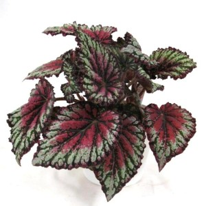 Begonia ROYAL RUBIN