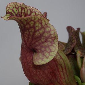 Sarracenia purpurea venosa 'Sylwia' (Stricker Plants)