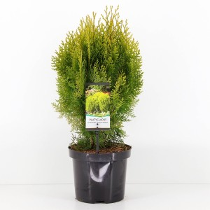 Platycladus orientalis 'Aurea Nana'