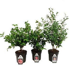 Camellia sasanqua MIX