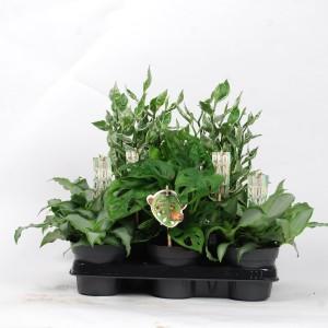 Perennials MIX