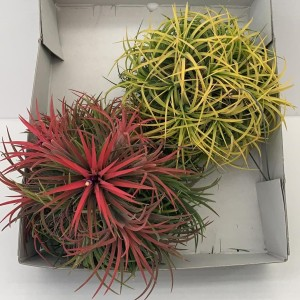 Tillandsia MIX