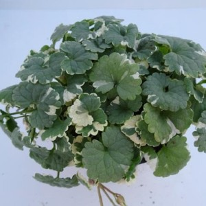Glechoma hederacea (Experts in Green)