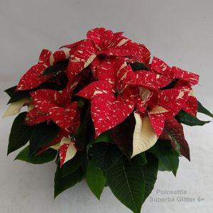 Euphorbia pulcherrima SUPERBA GLITTER