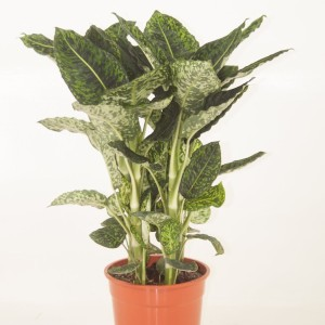 Dieffenbachia 'Reflector' (Ammerlaan, The Green Innovater)