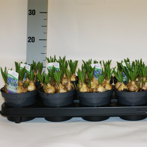 Muscari 'Big Smile' (Kwekerij MJ Komen)