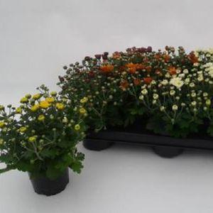 Chrysanthemum INDICUM MIX (Experts in Green)