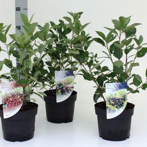 Aronia MIX (Dool Botanic)