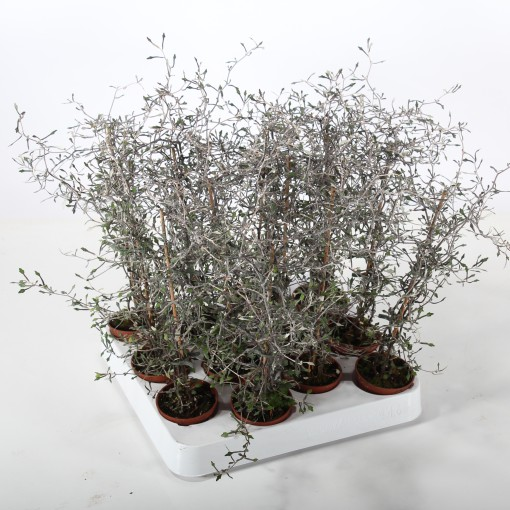 Corokia cotoneaster (Experts in Green)